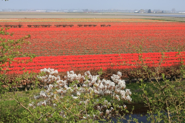 Flower fields near the Keukenhof