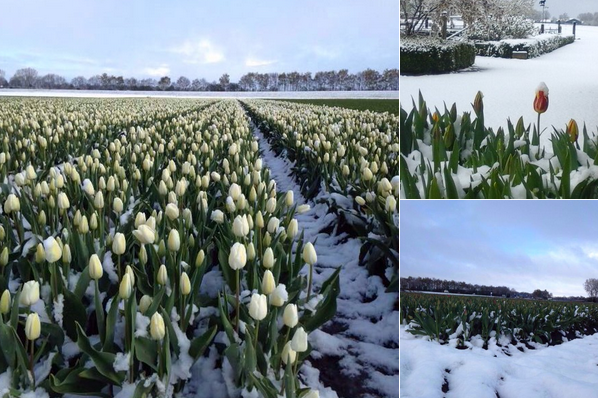 Tulips in the spring snow.