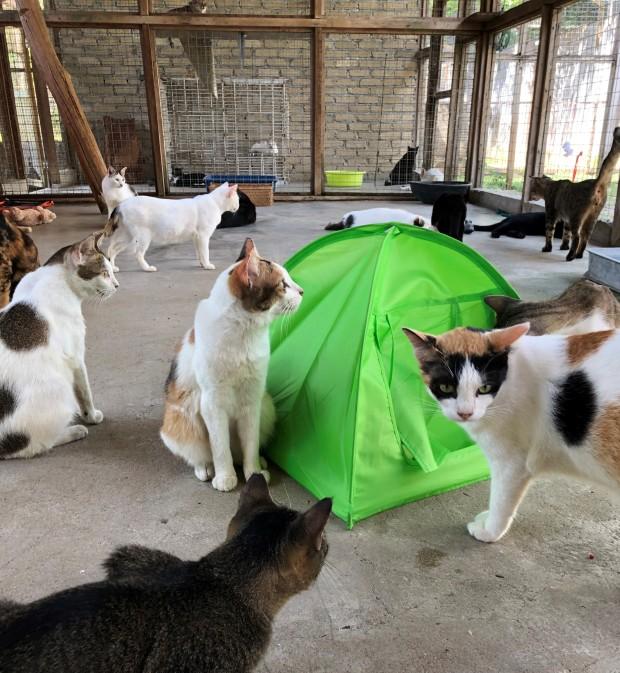 Cats at Langkawi LASSie