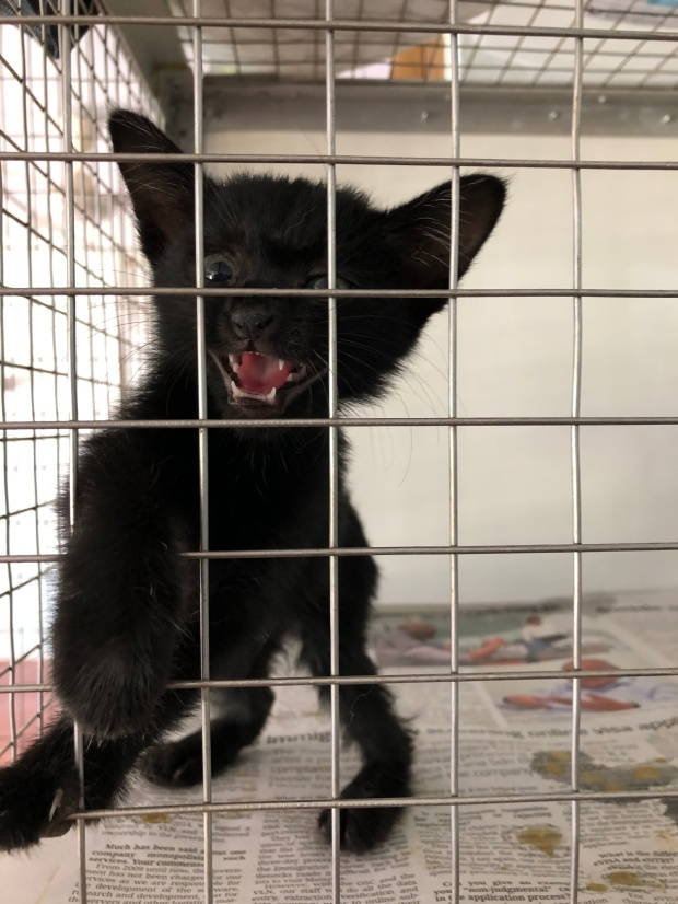 Kitten at Langkawi LASSie