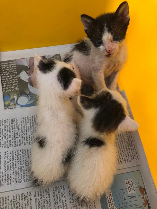 Kittens at Langkawi LASSie